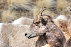 Big horn ewe Royalty Free Stock Photography