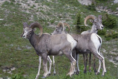 Big Horn Family Royalty Free Stock Photos