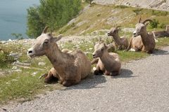 Big Horn Family Royalty Free Stock Photography