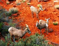 Big Horn Family. Big Horn Sheep in remote area of Zion National Park royalty free stock photos
