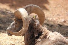 Big Horn-Gestell lizenzfreies stockbild