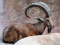 Big Horn Goat. Big Horn African Mountain Goat Sitting Royalty Free Stock Photography