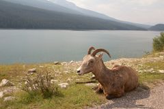 Big Horn at the Lake. Juvenile big horn sheep sitting in the grass at a lake Royalty Free Stock Image