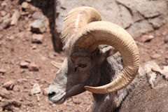 Big horn male. Shedding Big horn sheep with big rack laying on the ground Royalty Free Stock Photos