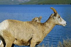 Big_horn_mom_baby Royalty Free Stock Photography