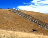 Big Horn Mountain pasture. Black Angus bull in a pasture high up in the Big Horn Mountains of Wyoming  surrounded by a high snow fence Royalty Free Stock Photo