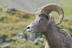 Big Horn portrait Royalty Free Stock Photo