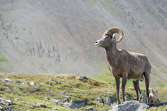 Big Horn portrait Royalty Free Stock Image