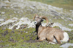 Big Horn portrait Stock Image