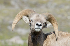 Big Horn portrait Stock Photography