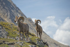 Big Horn portrait Royalty Free Stock Images