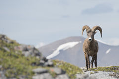 Big Horn portrait Stock Photos
