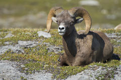 Big Horn portrait Stock Images