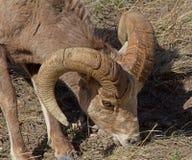 Big Horn que pasta Fotos de Stock Royalty Free