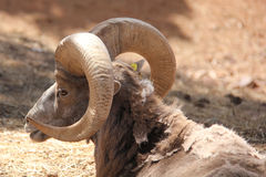 Big Horn Rack. Shedding Big Horn Sheep with Rack Royalty Free Stock Image