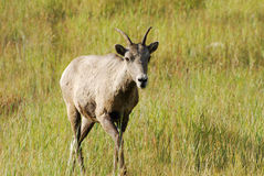 Big horn ram Stock Photography