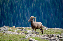 Big horn ram on a cliff's edge Royalty Free Stock Photos