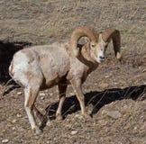 A Big Horn Ram Royalty Free Stock Photo