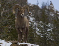 Big horn ram in mountains. A big horn ram in the high desert mountains of the rockies in their winter habitat stock photos