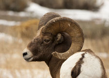 Big Horn Ram Royalty Free Stock Image