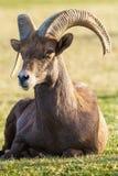 Big Horn Ram Sheep del desierto Imagenes de archivo