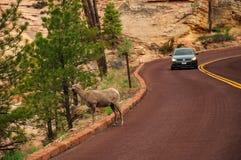 Big Horn Ram Sheep i Zion National Park Royaltyfria Foton