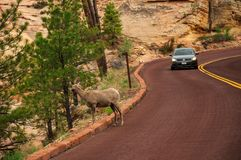 Big Horn Ram Sheep in Zion National Park Royalty Free Stock Photos