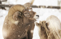 Big horn ram in snow. A big horn ram and ewe in the snow on the north fork of the Shoshone river in wyoming royalty free stock photo