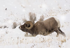 Big horn ram in the snow. A big horn ram during the rut season in north west wyoming near the east gate to yellowstone park royalty free stock image