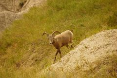 Big horn ram walking. Royalty Free Stock Photography