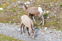 Big horn rams Stock Photography