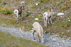 Big horn rams Royalty Free Stock Photography