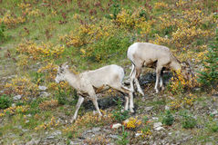 Big horn rams Stock Photos