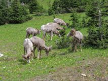 Big horn rams amongst the glacier lilies at Logan Pass in Glacier National Park Montana. America USA Royalty Free Stock Photography