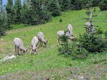 Big horn rams amongst the glacier lilies at Logan Pass in Glacier National Park Montana. America USA Stock Photo