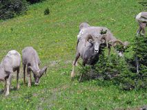 Big horn rams amongst the glacier lilies at Logan Pass in Glacier National Park Montana. America USA Royalty Free Stock Images