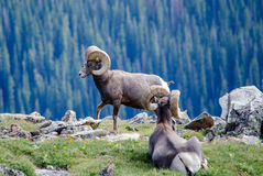 Big horn rams in colorado Royalty Free Stock Photo