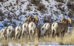 Big horn rams. In north west wyoming showing their white butts to me royalty free stock photography