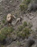 Big Horn-Schaf-Mutterschaf und Lamm Lizenzfreies Stockbild