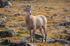 Big Horn-Schafe Lizenzfreies Stockfoto