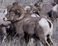 Big Horn-Schafe lizenzfreies stockbild