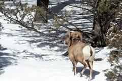 Big Horn-Schafe, die weg gehen lizenzfreies stockfoto