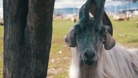 Big Horn-Schafe Haupt-Alpha Male Ram in der Herde von den Schafen, die auf dem Gebiet in den Bergen weiden lassen Langsame Bewegu stock footage
