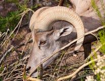 Big Horn Sheep. A Big horn sheep grazing Royalty Free Stock Photography