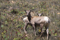 Big Horn Sheep. Mother and kid bighorn sheep with cactus on hillside Royalty Free Stock Photos