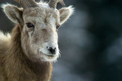 Big horn sheep royalty free stock image