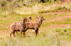 Big horn sheep. Small herd of rocky mountain big horn sheep Stock Photos