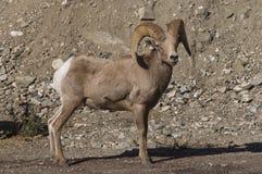 Big horn sheep Royalty Free Stock Photography
