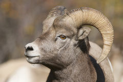Big Horn Sheep. Male Big Horn Sheep portrait showing the profile of face and one horn, ear and eye Stock Photography