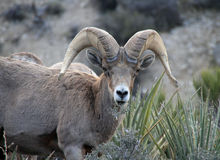 Free Big Horn Sheep Royalty Free Stock Image - 24844176